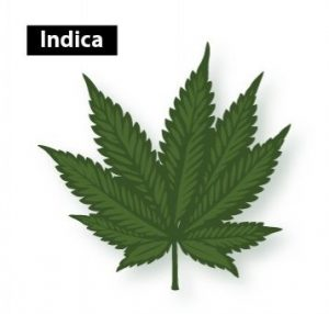 Indica Leaves