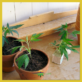 Featured Image for The Road to Home Grow in Maryland: Time to Get Legislative
